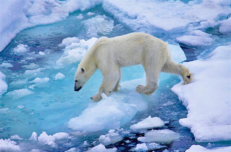 Белый медведь в поисках пищи. Земля Франца-Иосифа