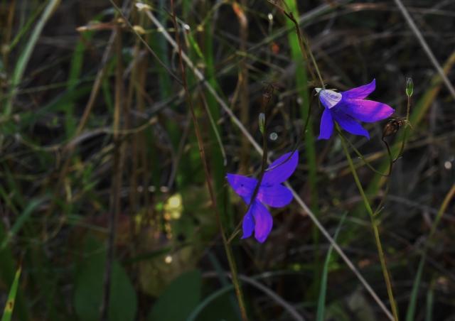 Полевые цветы синеют даже в середине октября