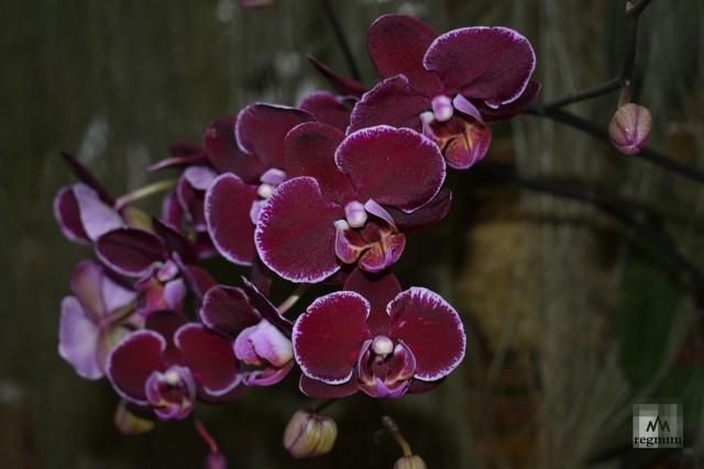 Фиолетовая орхидея