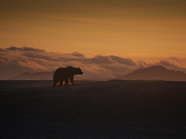 Медведь на закате