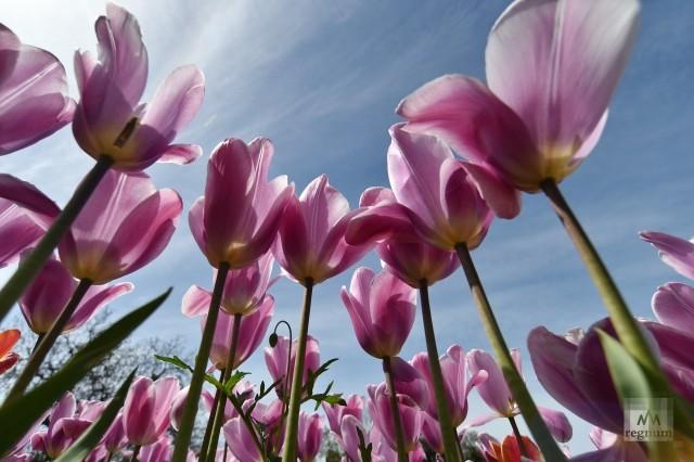 Парад тюльпанов в Никитском ботаническом саду в Крыму