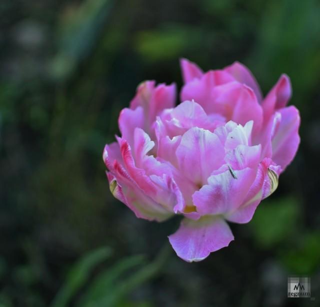 Сиреневый тюльпан с давних времен считался символом верности