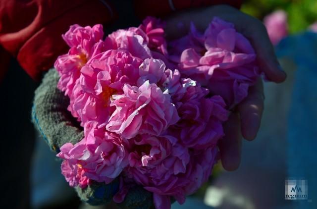 Роза эфиромасличная