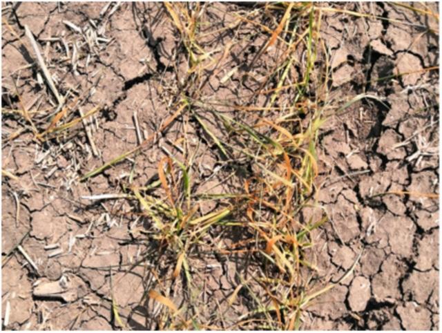 Рис. 15. Пшеница в КФХ «Исток» Азовского района Ростовской области в середине апреля 2020 года