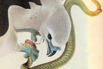 Одюбон Джон Джеймс. Американский коршун с раздвоенным хвостом. 1821